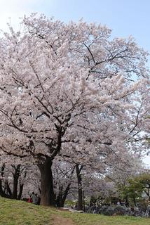 sakura20110410-01.jpg